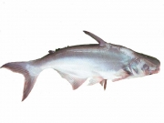 PANGASIUS D'ELEVAGE / POISSON CHAT